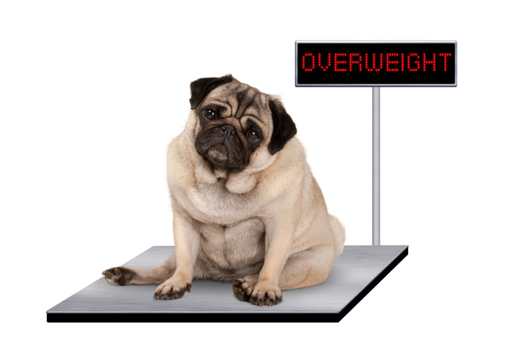 dog-on-scale-overweight