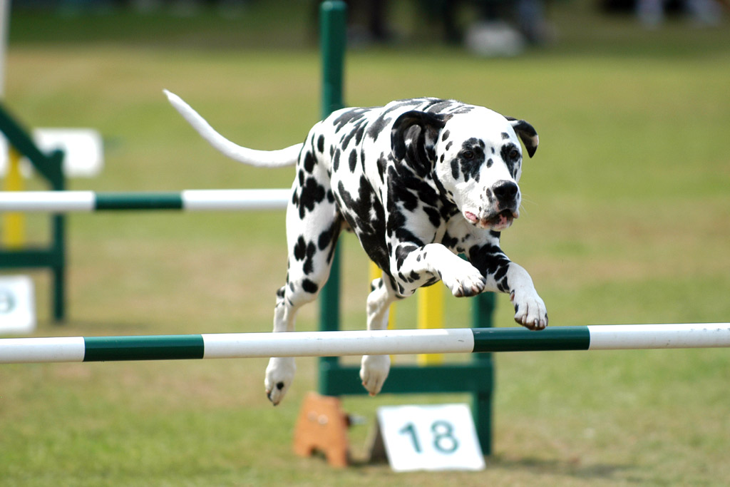 dog-sports-agility