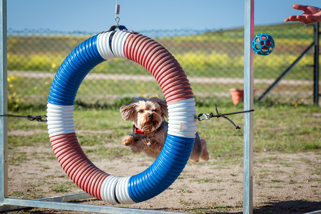 dog-sports-flyball