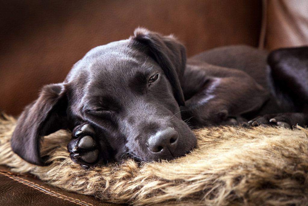 dog-stress-signs-sleep-disruption