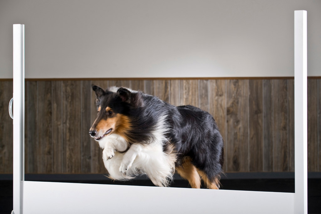 dog-training-obstacles-indoors