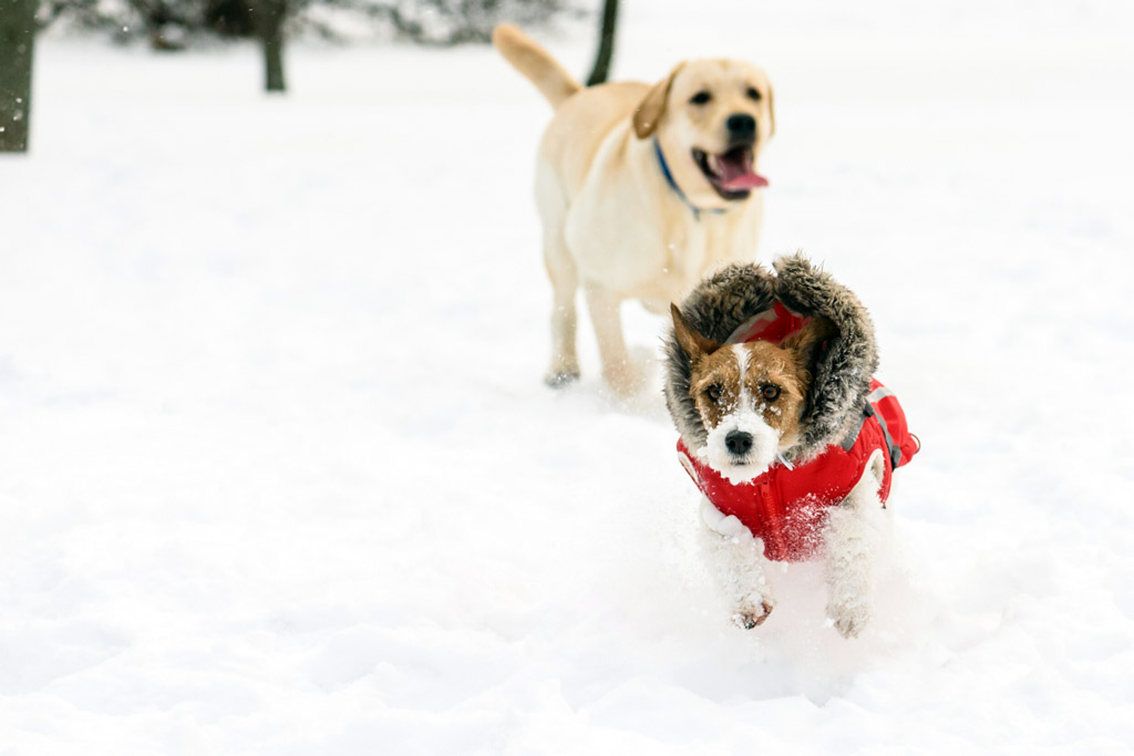 dogs-playing-in-snow
