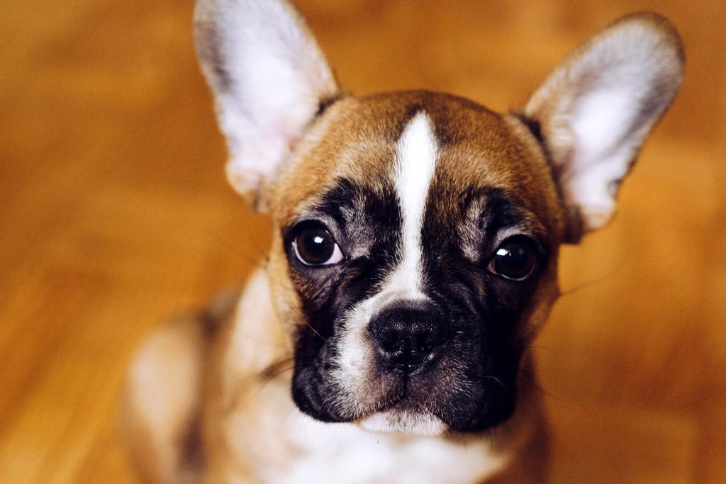 fawn-boston-terrier