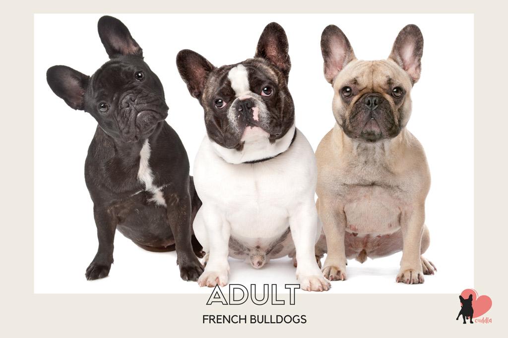 french-bulldog-adult-size