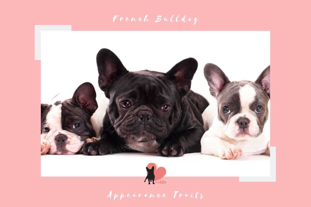 french-bulldog-appearance-traits