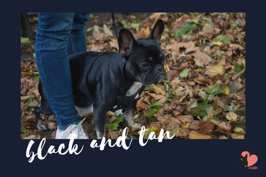 french-bulldog-black-and-tan