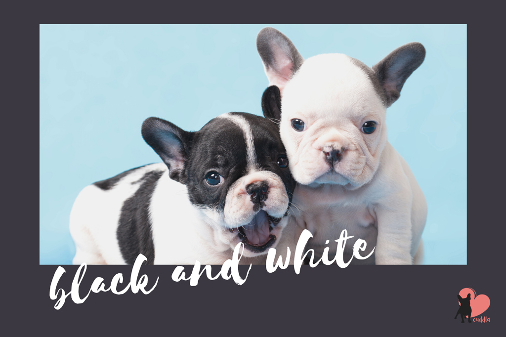 french-bulldog-black-and-white