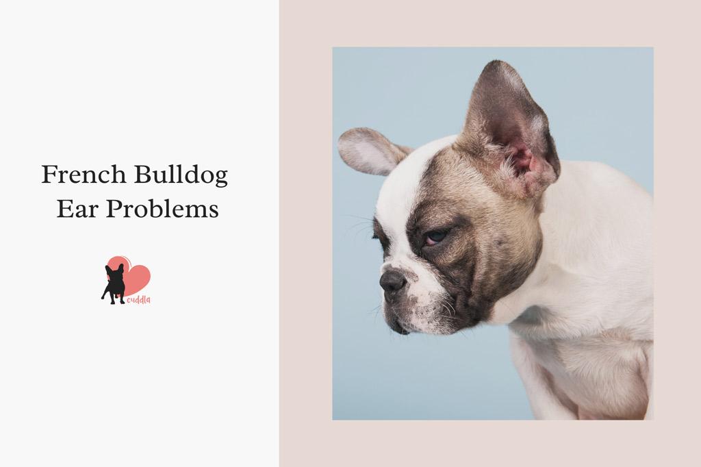 french-bulldog-ear-problems