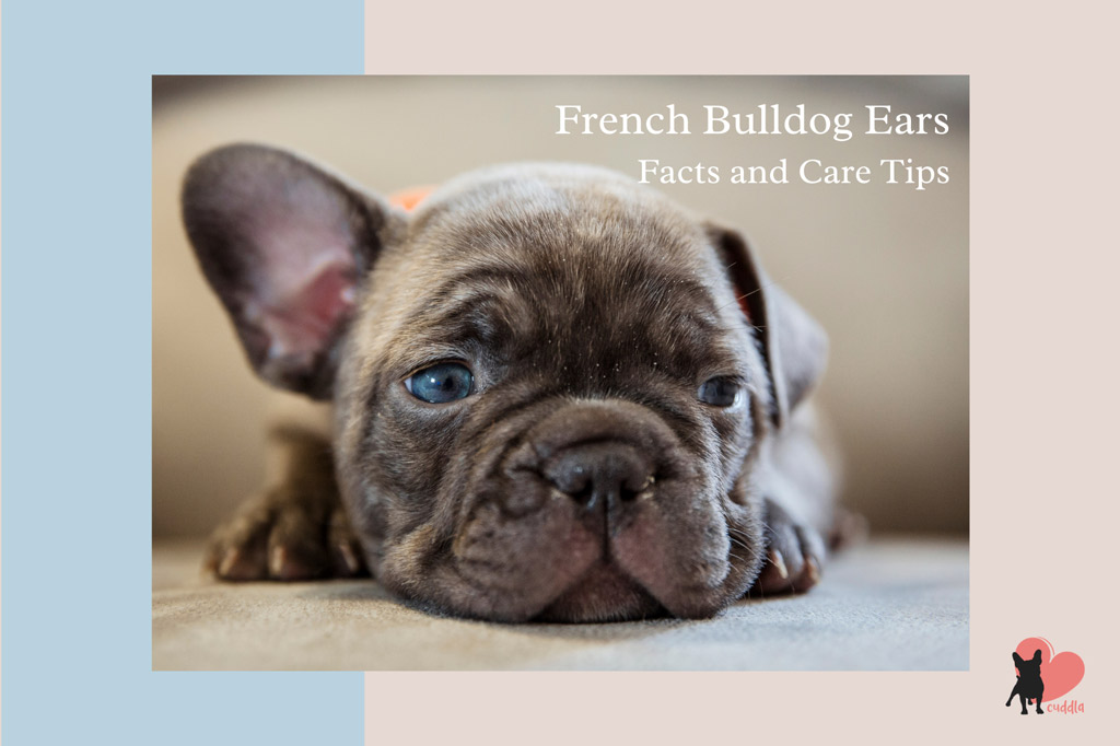 french-bulldog-ears