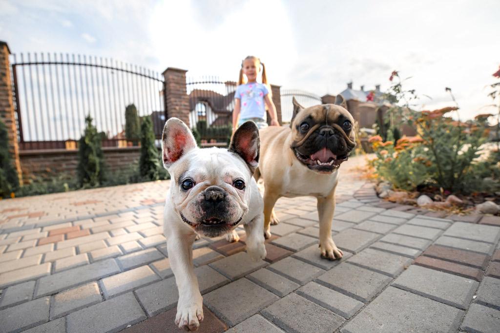 french-bulldog-eye-problems-prevention-tips