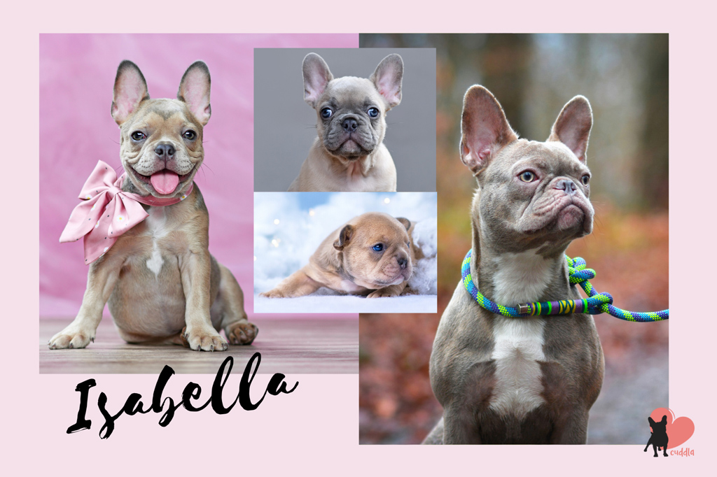 french-bulldog-isabella