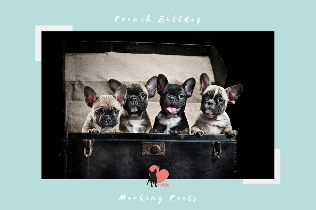 french-bulldog-marking-facts