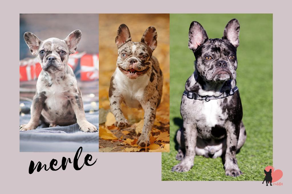 french-bulldog-merle