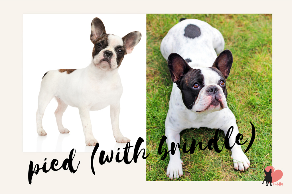 french-bulldog-pied-with-brindle