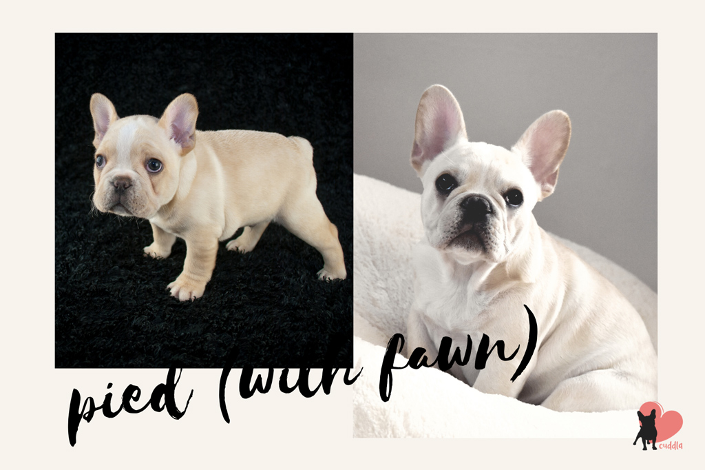 french-bulldog-pied-with-fawn