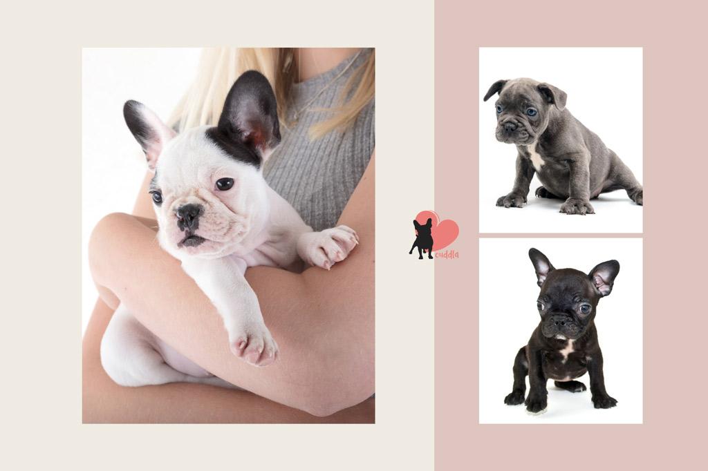 french-bulldog-puppies