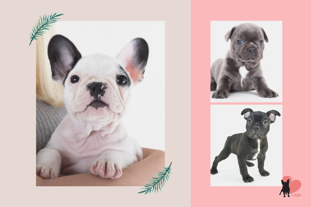 french-bulldog-puppy-floppy-ears