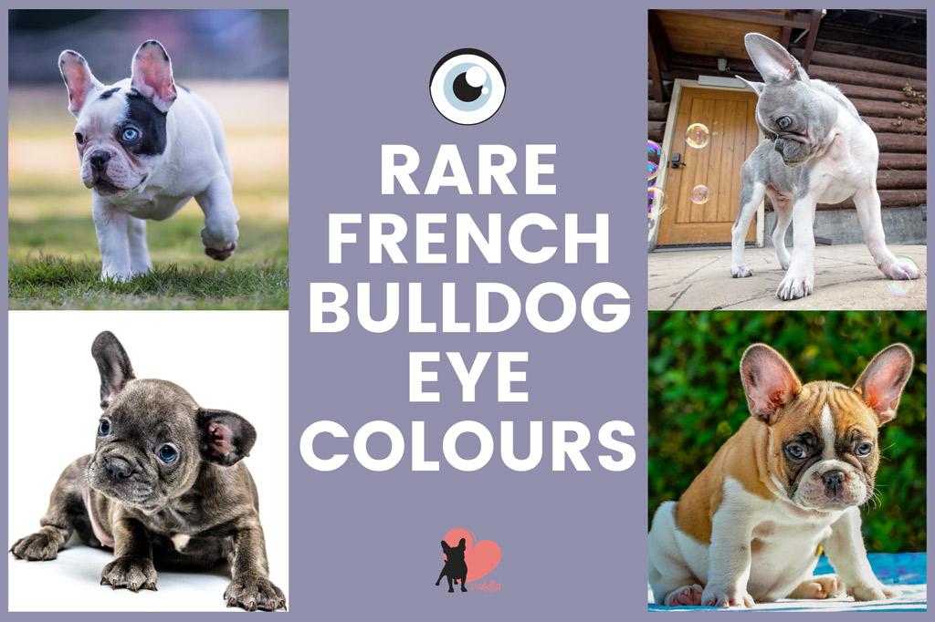 french-bulldog-rare-eye-colours