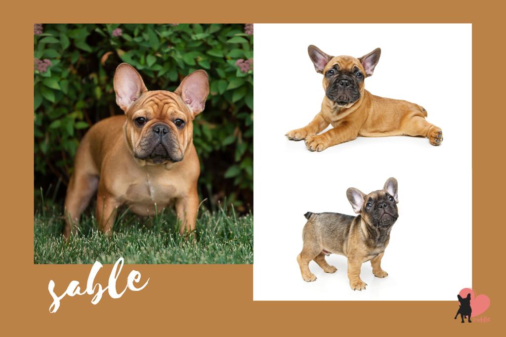 french-bulldog-sable-or-liver