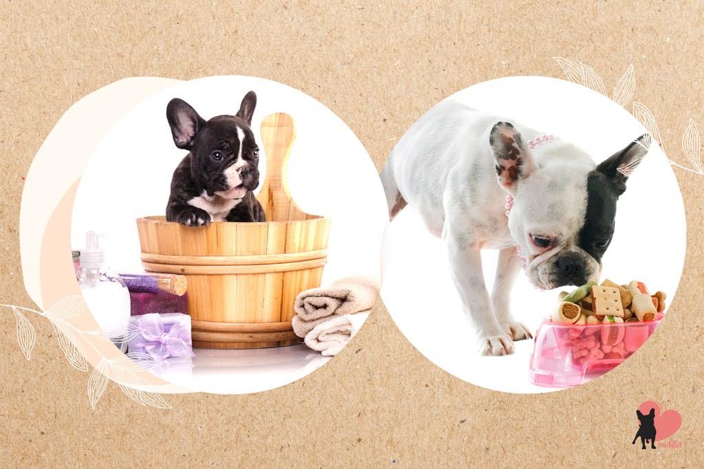 french-bulldog-shedding-causes
