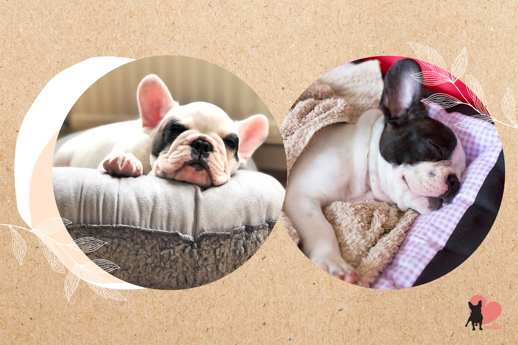 french-bulldog-shedding-reduction-calm-environment