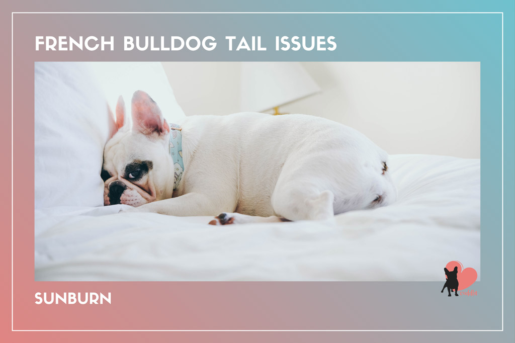 french-bulldog-tail-issues