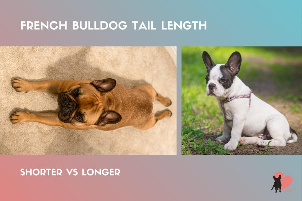 french-bulldog-tail-length