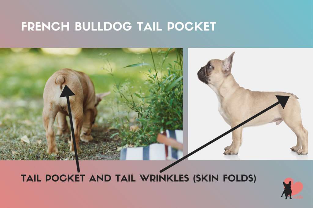 french-bulldog-tail-pocket