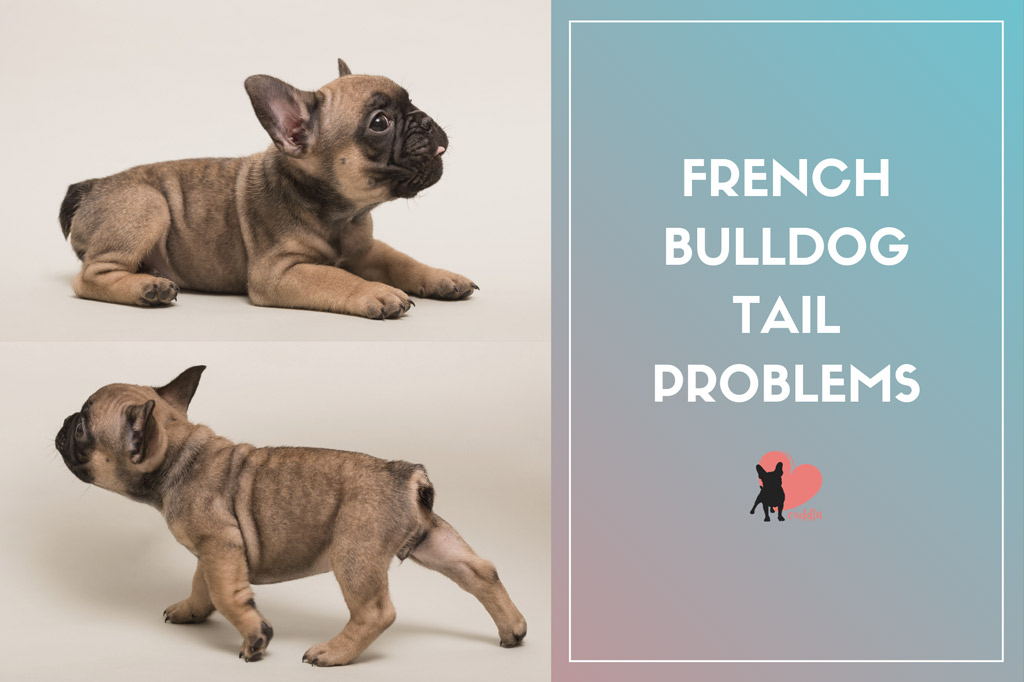 french-bulldog-tail-problems