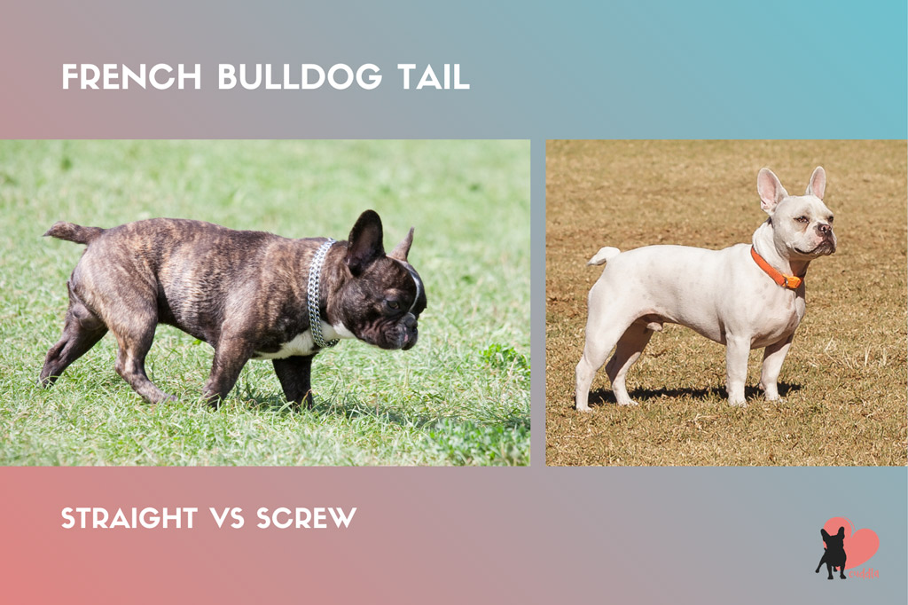 french-bulldog-tail-straight-vs-screw
