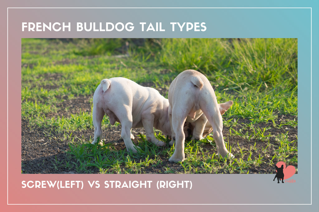 french-bulldog-tail-types