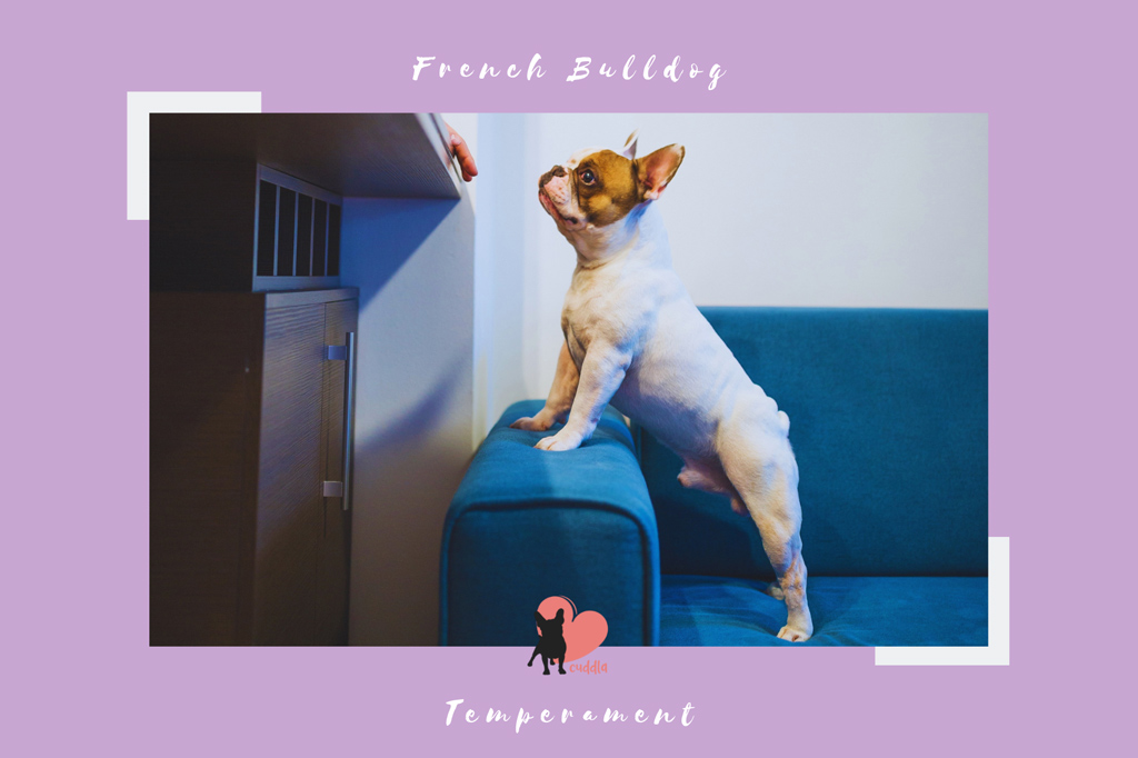 french-bulldog-temperament
