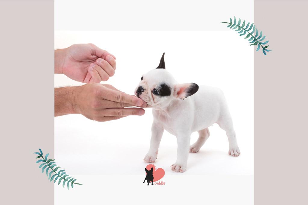french-bulldog-treat-reward