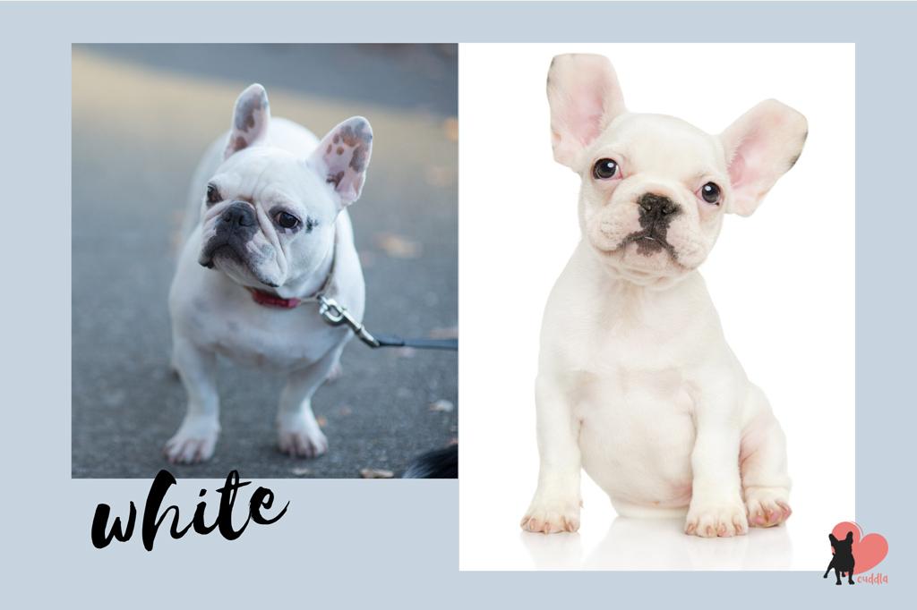 french-bulldog-white