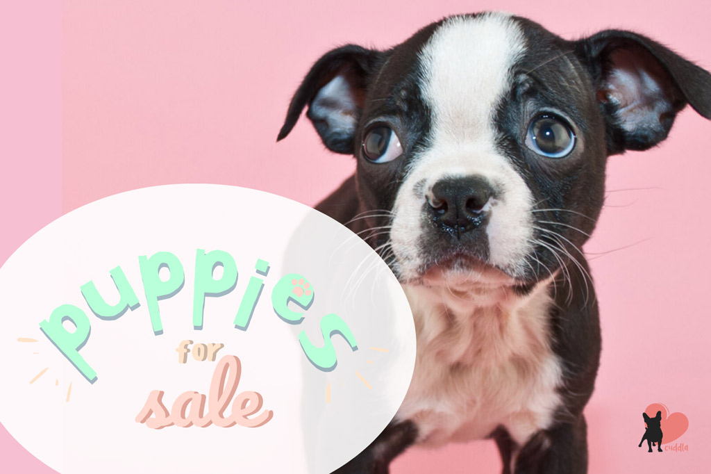 how-much-do-boston-terriers-cost