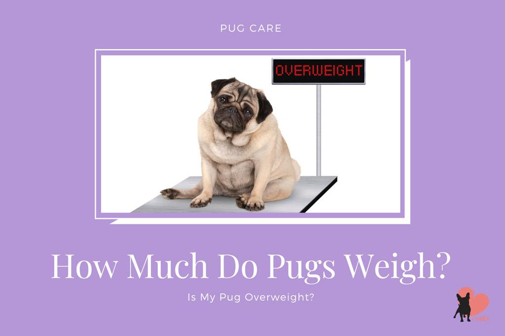 how-much-do-pugs-weigh