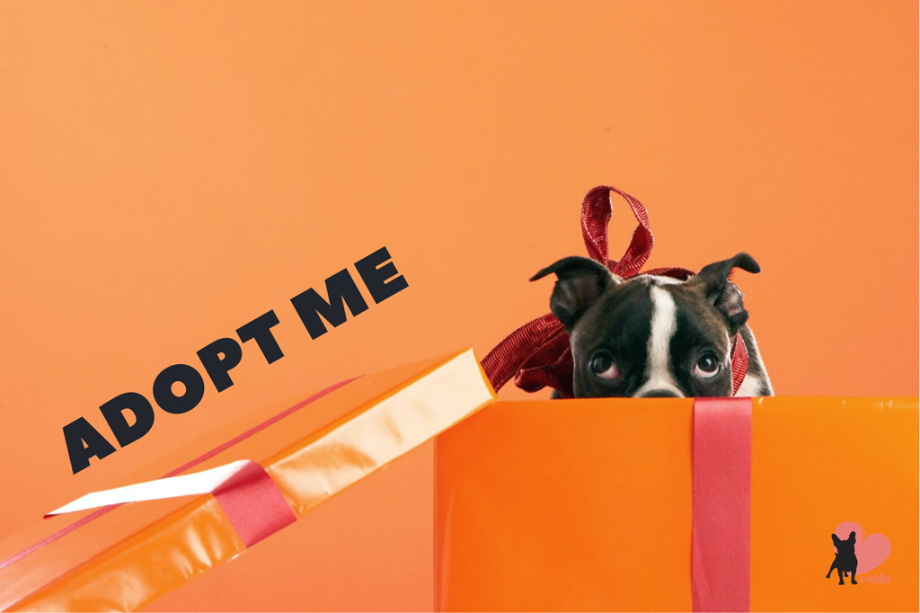 how-to-adopt-a-boston-terrier