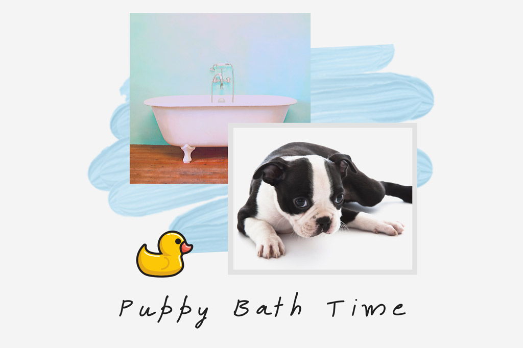 how-to-bathe-a-boston-terrier-puppy