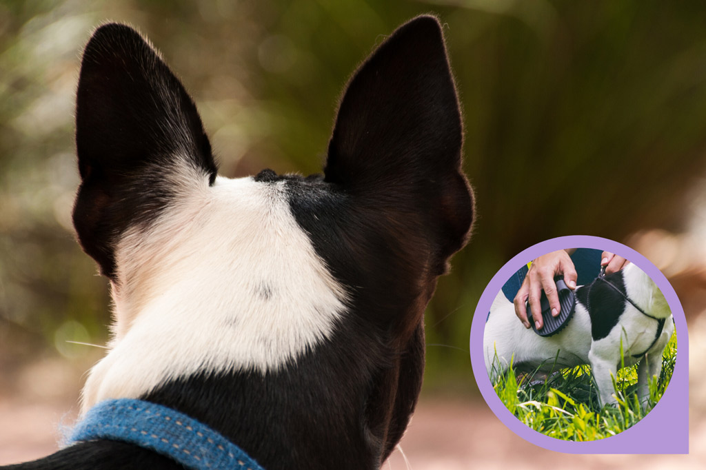 how-to-brush-boston-terrier