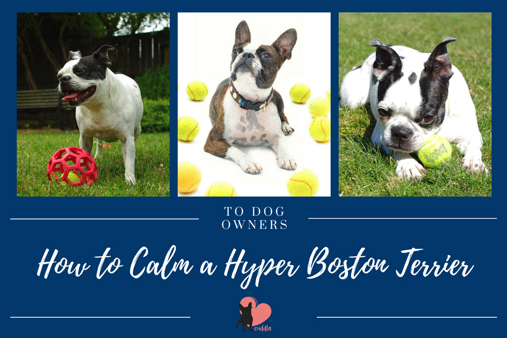 how-to-calm-a-hyper-boston-terrier