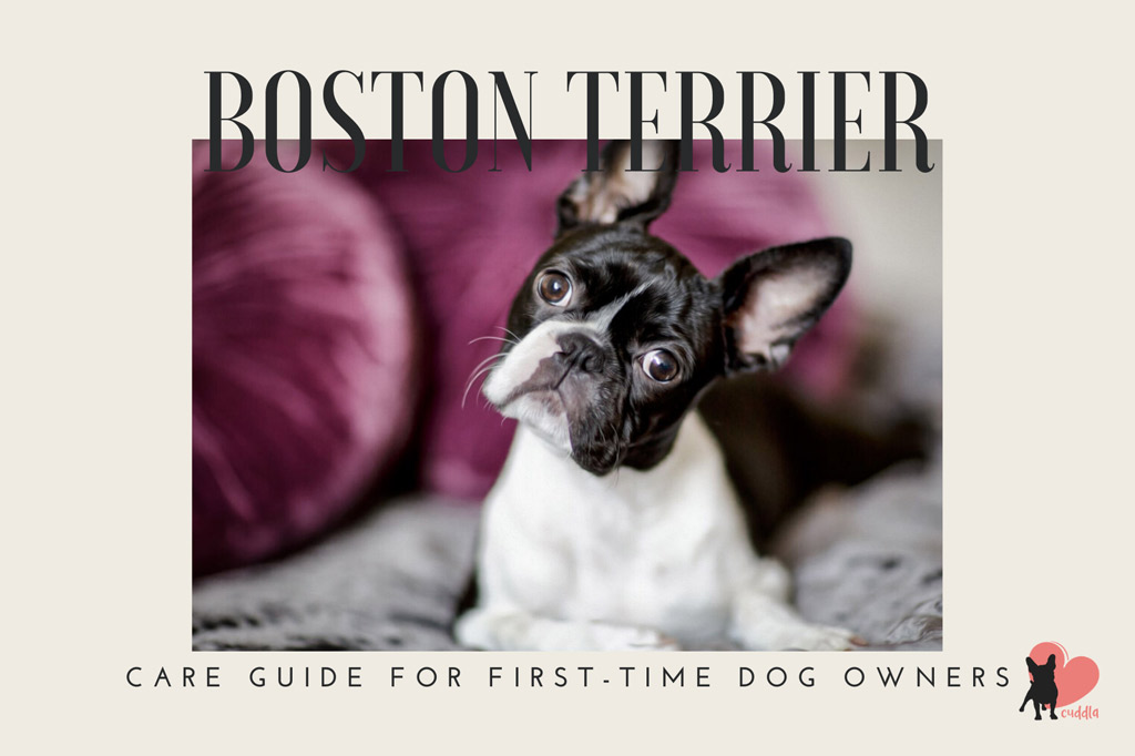 how-to-care-for-a-boston-terrier
