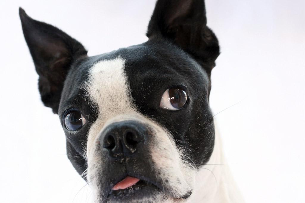how-to-clean-boston-terrier-eyes
