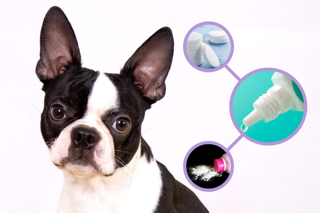 how-to-clean-boston-terriers-ears