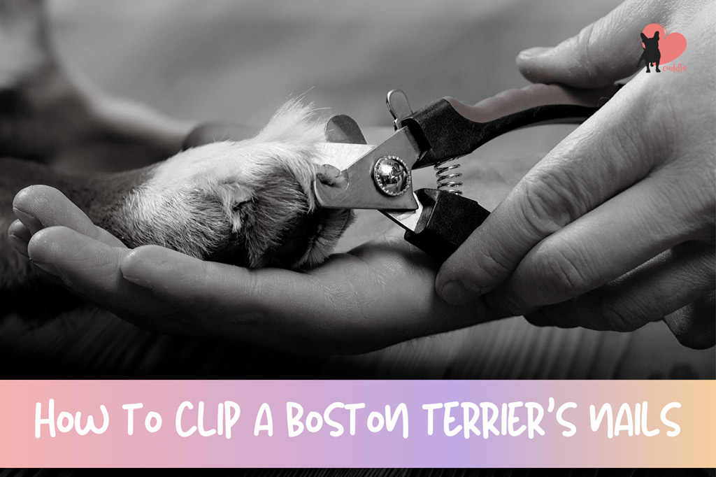 how-to-clip-a-boton-terriers-nails