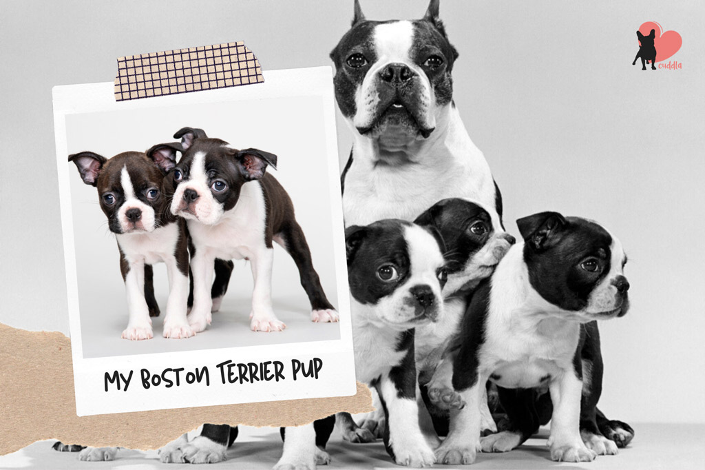 how-to-find-a-reputable-boston-terrier-breeder