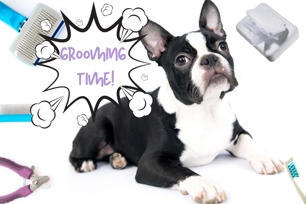 how-to-groom-a-boston-terrier