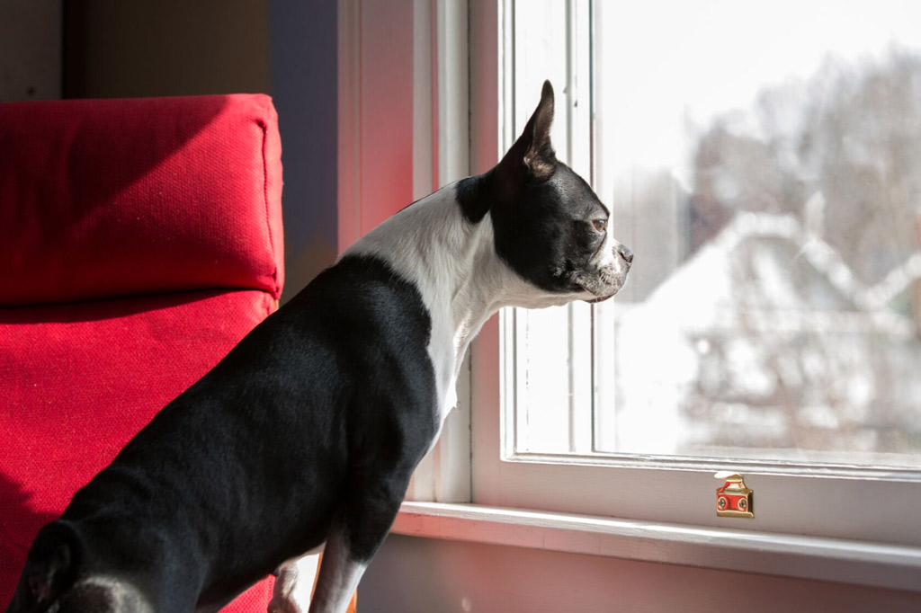 how-to-help-a-boston-terrier-with-separation-anxiety