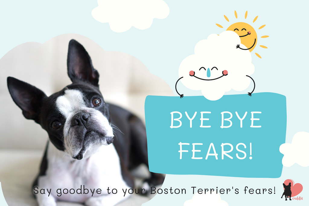 how-to-help-your-boston-terrier-overcome-his-fears