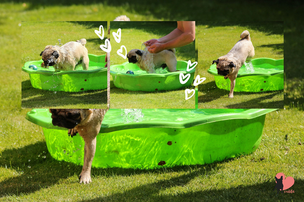 how-to-introduce-your-pug-to-water