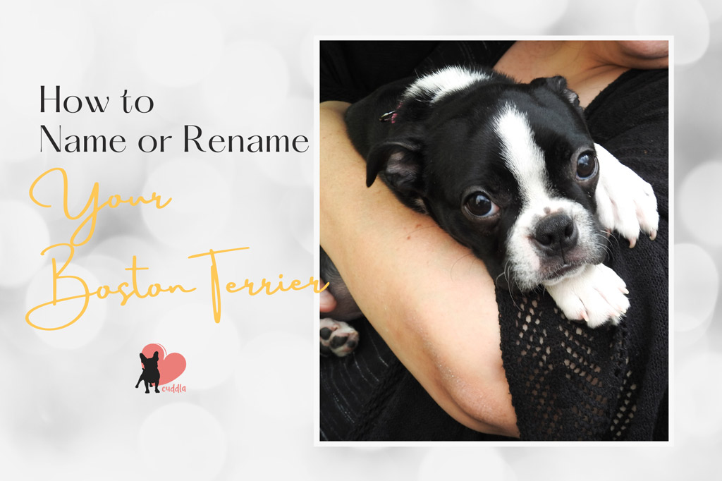 how-to-name-or-rename-your-boston-terrier